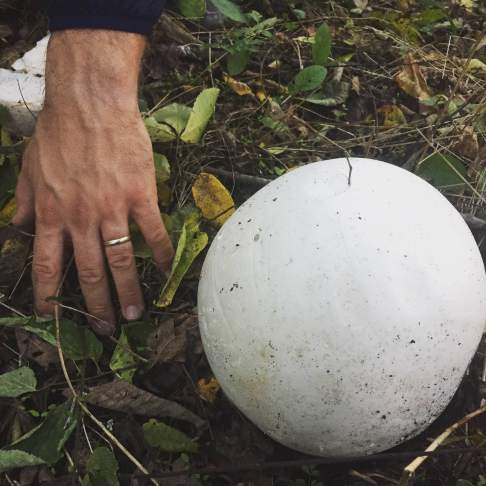 """A """"Puffball"""" mushroom, about the size of a volleyball."""