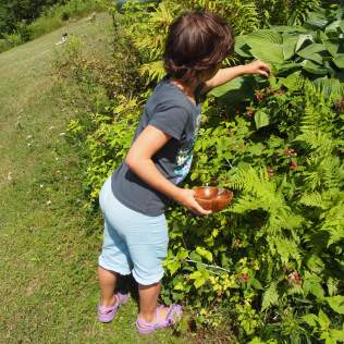 Asha helping out to pick black raspberries. Copyright Jo-Ann Blondin