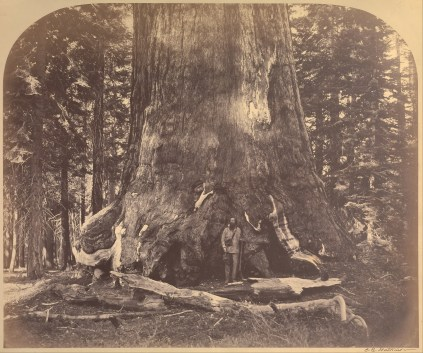 Carleton_Watkins_(American_-_Section_of_the_Grizzly_Giant,_33_Feet_Diameter,_Mariposa_Grove,_Yosemite,_No._111_-_Google_Art_Project