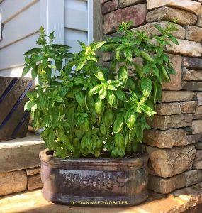 Basil growing in a ceramic pot