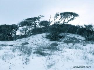 Photograph of Scrub Oaks Following Dune Line