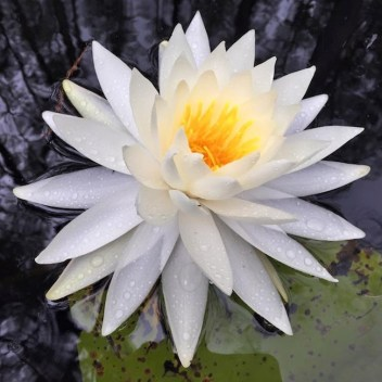 Photograph of a lily on Ocheesee Pond, between Marianna and Chattahoochee, FL