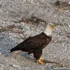 Eagle below my house