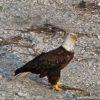 Eagle below my house