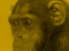 chimpatico