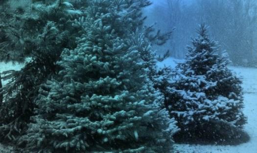 trees in snow web.jpg