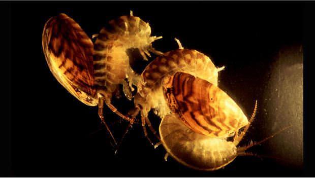 Dikerogammarus villosus may be tiny, but this crustacean is a vicious predator, shown here with zebra mussels. JAMIE DICK AND DIRK PLATVOET