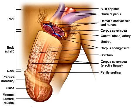 idawulff hvordan måle penis