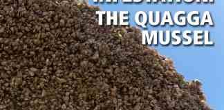 Quagga Mussel - Lake Mead National Recreation Area (U.S. National ... National Park Service