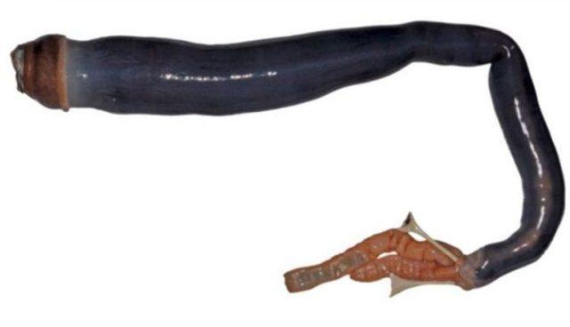 Photo of a giant shipworm. Image via PNAS.ORG