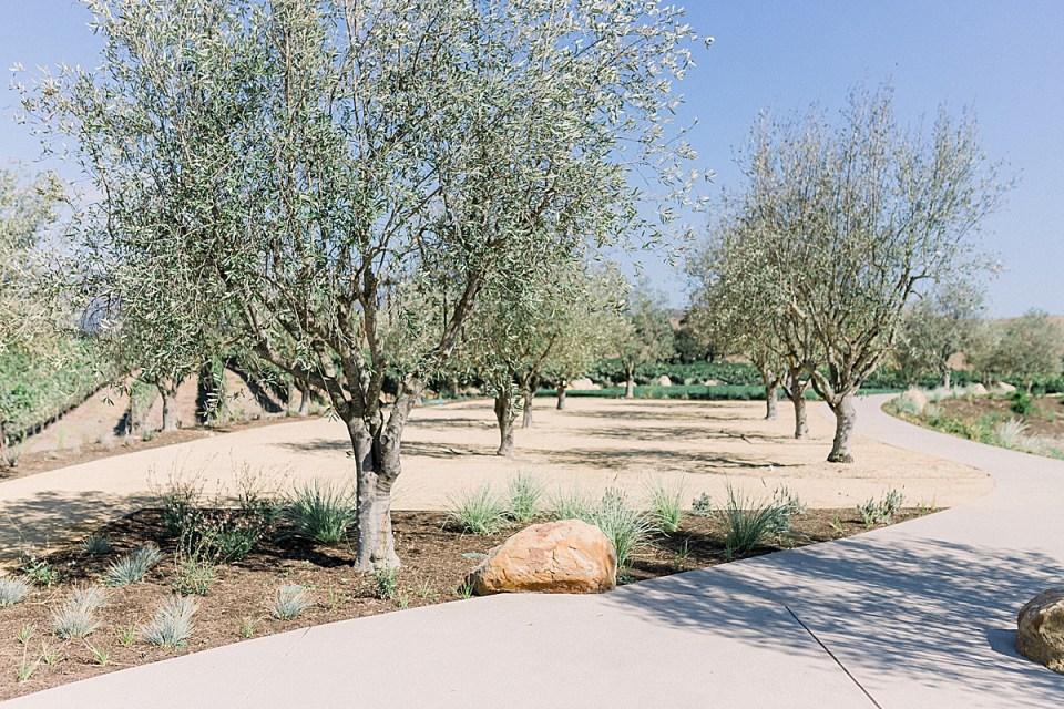A closer image of the olive trees within the space reserved for cocktail hour at Rodney's Vineyard at the Fess Parker wedding venue in Los Olivos, California.