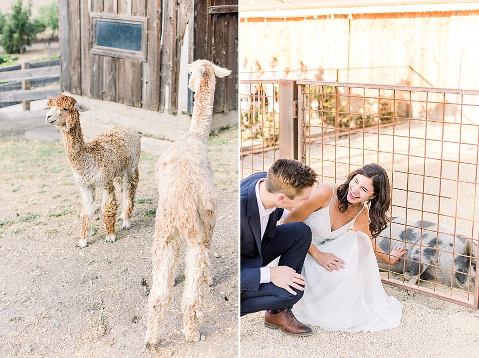 Two llamas, which are a few of the Farm's resident animals. A second image of Lauren & Scott leaning over to pet Daisy the pig.