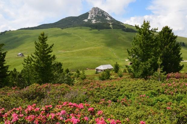 Weißhorn mit Alpenrosen