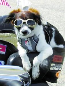 Charlie is a rescued Australian shepherd who is helping his human buddy, Butch Ewing, cope with PTSD and depression. Charlie is seen here on the back of Mr. Ewing's Harley-Davidson motorcycle the two ride together