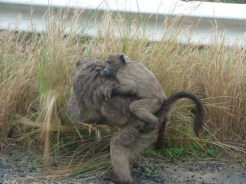 But watch out for the baboons!