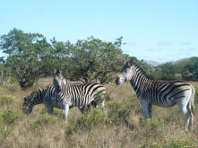 Zebras puzzle me. I look at them and see a horse/donkey, but with a really nice hair-do.