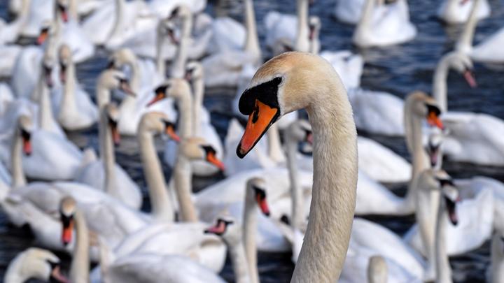 SwanHead720WebImage