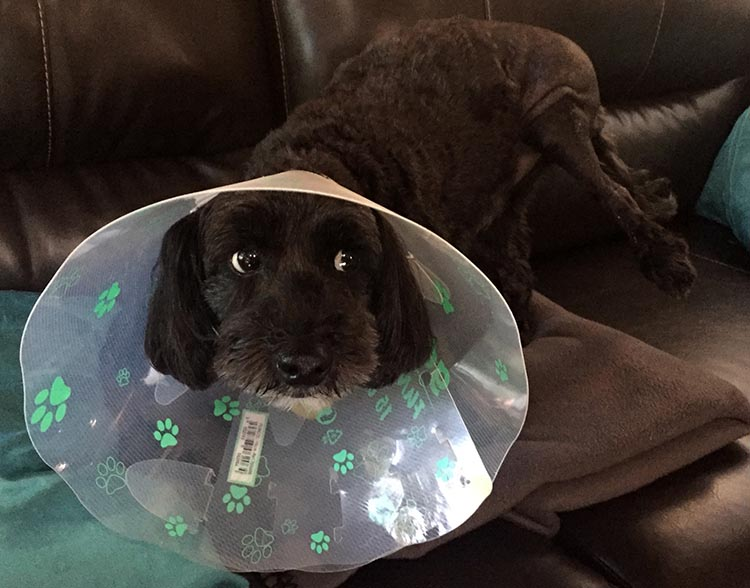 Billy hated his cone, so I took it off him pretty quick. Now we have to watch him constantly