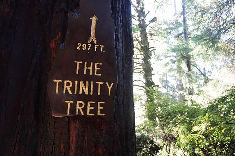 The Trinity Tree is more than 297 feet tall