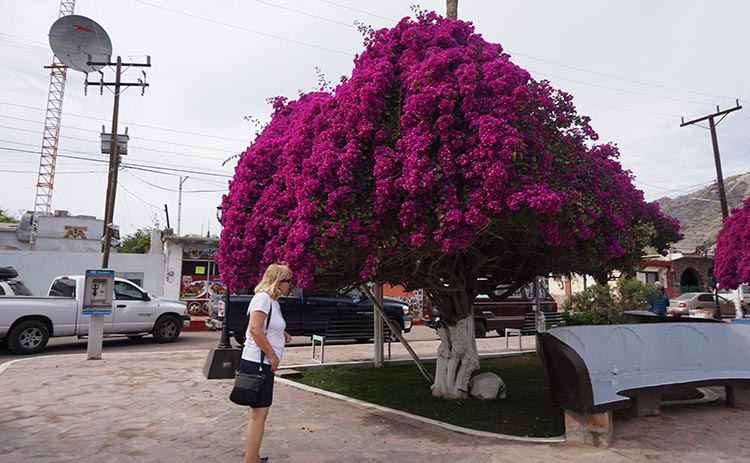 There is a beautiful bougainvillea tree in the zocola of Mulege. In this photo, fellow traveler Donna sniffs the flowers
