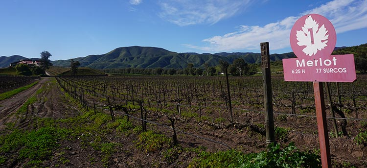 The vineyards at Santa Tomas