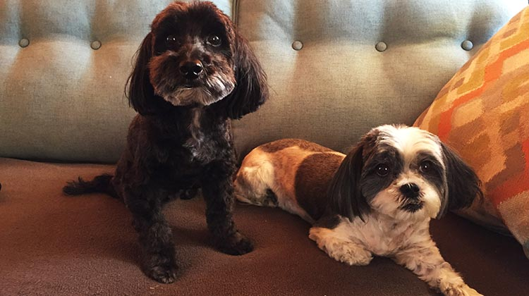 Here are the dogs after having a great grooming. Billy on the left, Ripley on the right