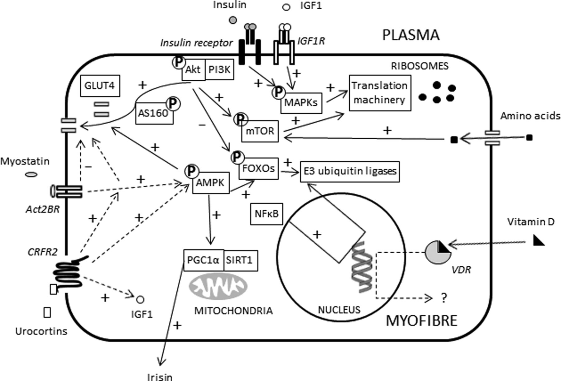 Insulin Resistance And Sarcopenia Mechanistic Links