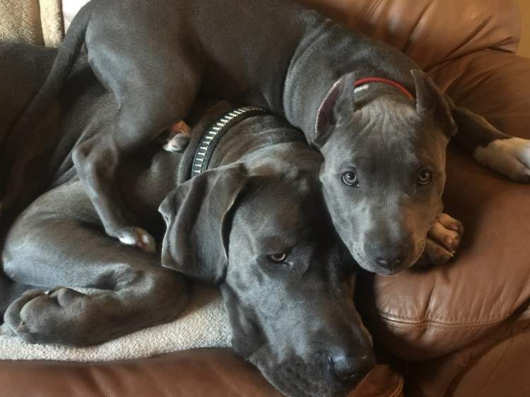 Diesel the Great Dane and Apollo the Pitbull puppy where exhausted after a day on the river.