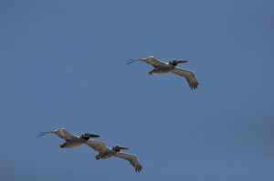 Walks - 3 Pelicans in flight