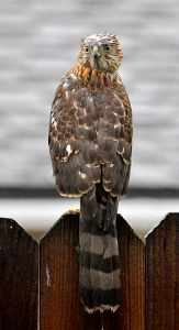 Our hawk on backyard fence