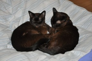 Merlin & Magic, our Burmese boys, in bed