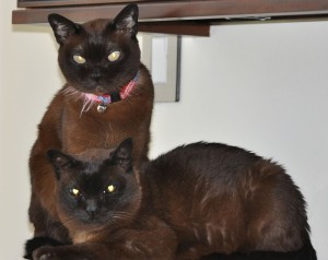 Merlin & Magic, our Burmese boys, on the Cable Box