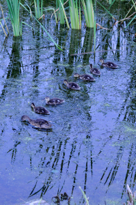Ducks all in a row - A.