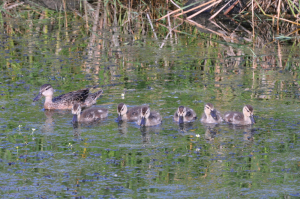 Ducks all in a row - B.