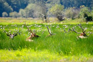 Elk at rest with birds.