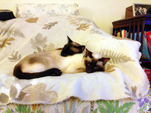 and Dream (Siamese cats)