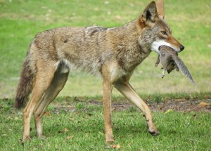 A popular and brazen coyote that was frequently seen cavorting and hunting in close proximity to people at Huntington Beach's Central Park was euthanized on June 21. This photo was taken by Dawn Macheca of Huntington Beach about two weeks before the animal was darted and then put down by O.C. Animal Control.