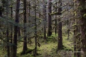 Forest in Kodiak Alaska Refuge