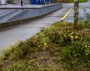 spring in Juneau - the dandelions are blooming already; you can see moss and lichen on the tree - it's everywhere here, due to the volcanic ash from years ago that provides a hospitable base for growth, and the abundant rain.