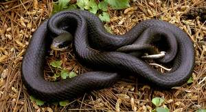 blackracer-full