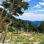 Photographing a Bristlecone Pine