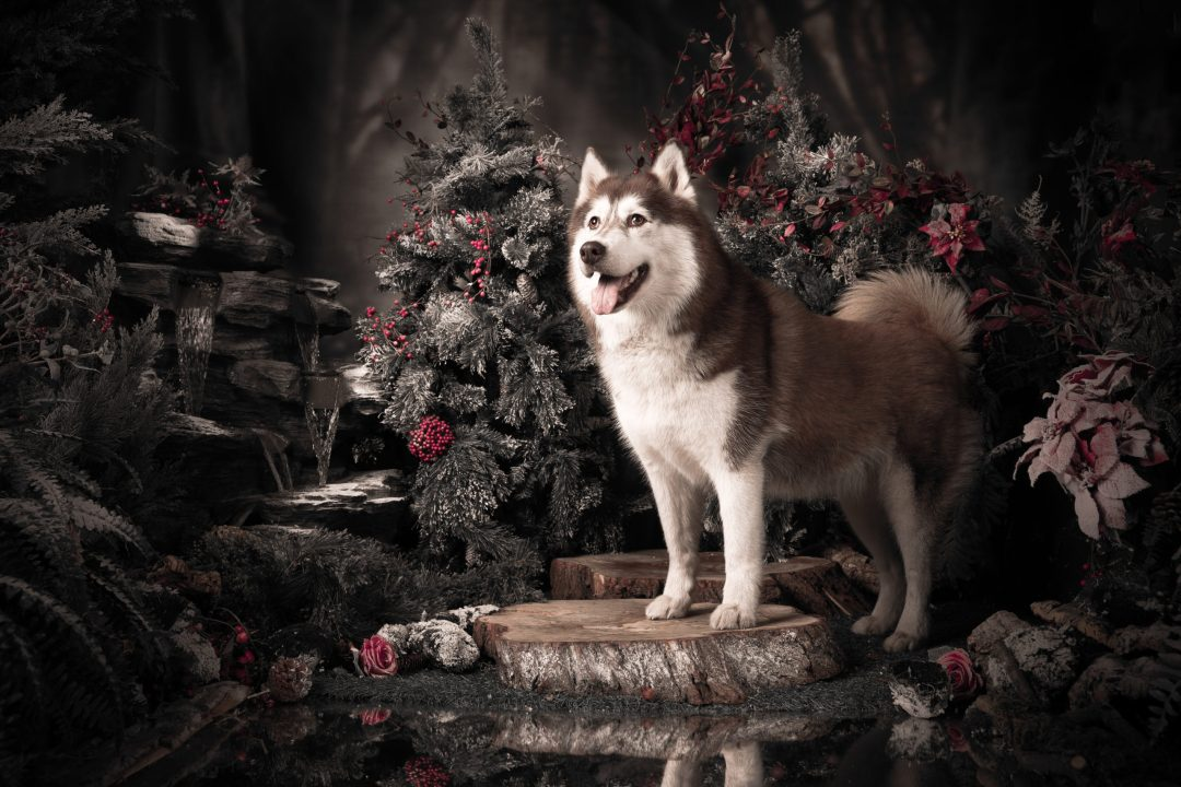 Lexi the husky in the enchanted set. a week at joe laws photography