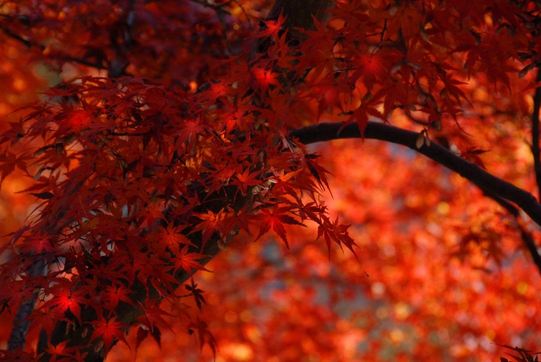 autumn-leaves-kyoto