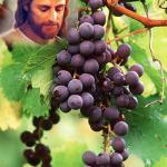 jesus-the-truevine