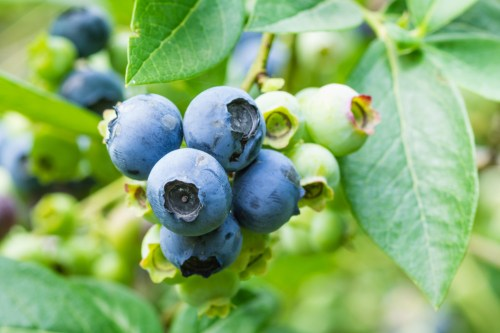 Fill up a bag of berries that you pick yourself from our eight different blueberry cultivars!