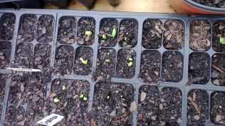This is cucumber and squash seeds germinating.