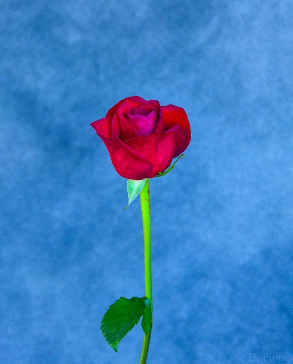 Rose (6)