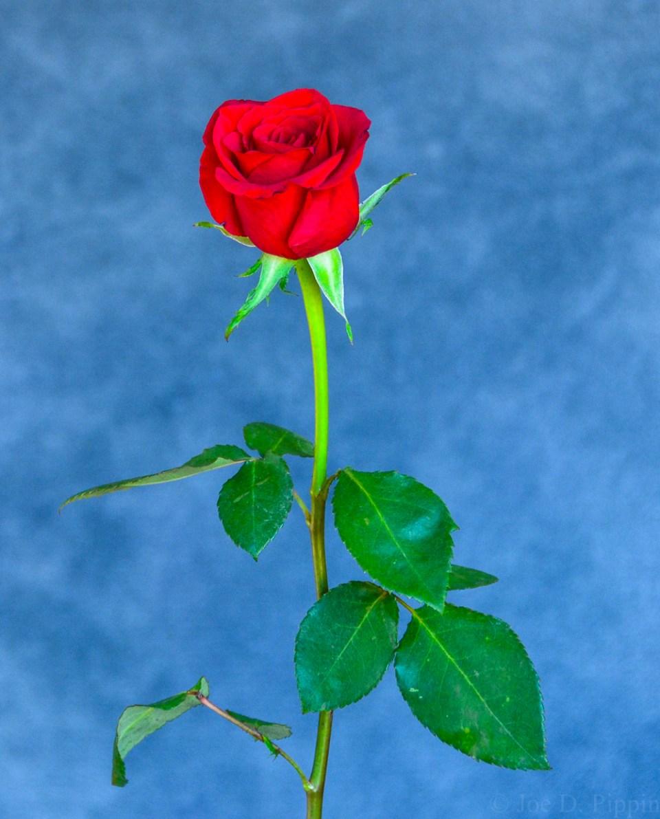 Rose (7)