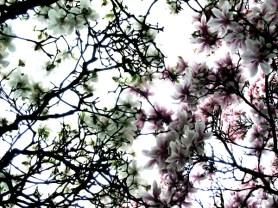 Magnolien © Kruth 2006