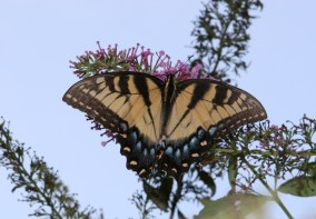 One-Tail-Swallowtail-Two
